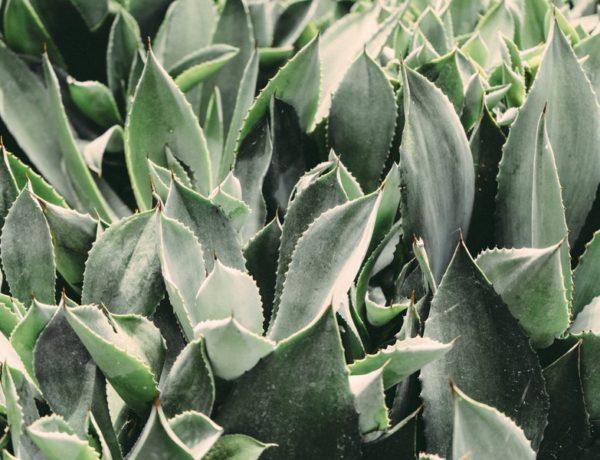 pozitívne účinky aloe vera