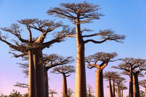 Baobab účinky